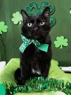 Put a green hat on your kitty and boom - they're Irish for the day! >>> Visit the image link for more details. Foster Kittens, Cats And Kittens, I Love Cats, Cute Cats, Cat Reading, Cat Hacks, Cute Piggies, Pet Costumes, Pretty Cats