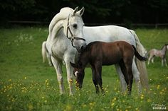 Lipizzaner mare and colt. - Horse breeds