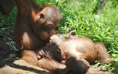Dio and Budi taken when they were first introduced during Budi's first trip to baby school. InternationalAnimalRescue.org