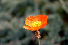 Flower | by Siniirr Kitty, Rose, Flowers, Plants, Summer, Kitten, Pink, Summer Time, Kitty Cats