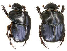 Phanaeus milo - This species of beetle is of the family Scarabaeidae - Image : © Dr U Schmidt 2006