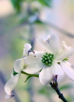 find this pin and more on nature 2 the dogwood flower - Dogwood Flower