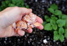Garden Fertilizer - Eggshells are rich in calcium and other minerals that help your garden thrive. Crush eggshells into tiny pieces and sprinkle into each hole before planting. Then, sprinkle additional shells around the base of your plants every two weeks.