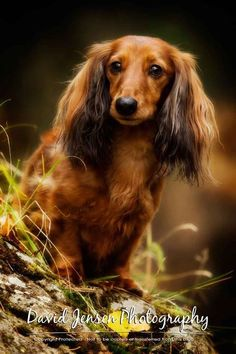 long haired dachshund, looks just like Molly.