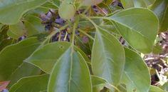 Ravintsara Oil, Some Uses - Influenza Defense - Lavender,  Ravintsara, Tea Tree - Soak in bath at first sign of cold or flu