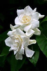 Risultato immagine per gardenia