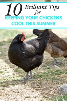 Trying to find ways to help your backyard chickens, ducks, and other poultry beat the heat? These 10 tips will help them cool off in no time. Urban Chickens, Pet Chickens, Chickens Backyard, Backyard Farming, Rabbits, Best Chicken Coop, Building A Chicken Coop, Chicken Coops, Keeping Chickens