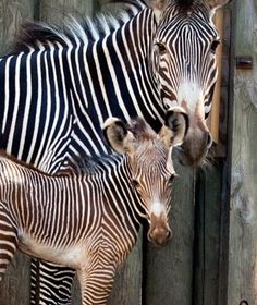 Kito, Grévy's Zebra, Lincoln Park Zoo, Chicago - Cutest Baby Animals at U.S. Zoos | Travel + Leisure