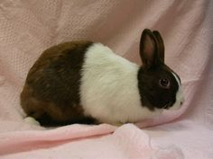 Rabbit - Dutch Rodents, Rabbits, Mammals, Buns, Dutch, Cute Animals, Pretty Animals, Dutch People, Rolls