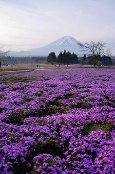 Moss Phlox and Mount Fuji , Lake Motosu, Yamanashi, Japan