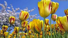 High Definition Tulips Wallpaper
