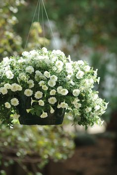 Shock Wave Ivory in a Hanging Basket. wave-rave.com