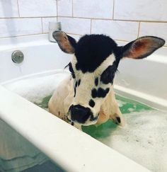 Get rid of stubborn belly fat now! belly fat awwcutepets:Here is a cow enjoying a nice bath. awwcutepets: Here is a cow enjoying a nice bath. May 08 2019 at hold onto hope if you've got it Cute Baby Cow, Baby Cows, Cute Cows, Baby Elephants, Cute Creatures, Beautiful Creatures, Animals Beautiful, Cute Little Animals, Cute Funny Animals