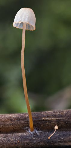 Mycena pterigena by MycoImage, via Flickr, this photo was taken in August 2008 in North Yorkshire, England, GB.
