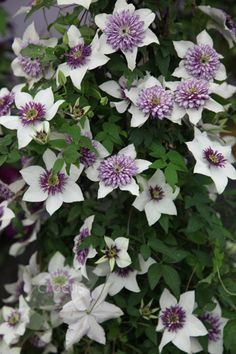 Long flowering season from May to Aug and semi-evergreen foliage. To grow with early season 'Propertus'. Unusual Flowers, All Flowers, White Flowers, Orchids Garden, Garden Plants, Clematis Florida, Florida Flowers, Moon Garden, Garden Spaces