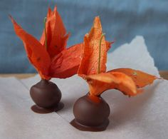 Wild Chocolate Dipped Chinese Lanterns  (Physalis alkekengi)