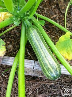 Squash are prolific growers, but squash bugs and squash vine borers can ruin a crop in no time. Find out how to rid yourself of these pest without the use of pesticides.