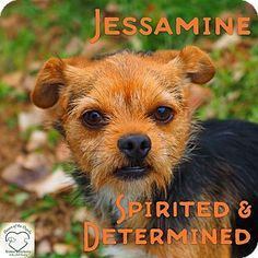 Washburn, MO - Terrier (Unknown Type, Small) Mix. Meet Jessamine, a dog for adoption. http://www.adoptapet.com/pet/17078304-washburn-missouri-terrier-unknown-type-small-mix