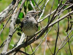 https://flic.kr/p/sePVkG | Young Mockingbird | This youngster was in a small tree with it's sibling--probably their 1st day out on their own. This one stayed in this tree quite awhile as it flitted from branch to branch, often calling for it's parents. (--who were close by in a larger tree. ) If you see the video that's after this shot, this little guy is the one on the right. Northern Mockingbird (Mimus polyglottos)  Thank you for the visits, faves, and comments---they are very much…