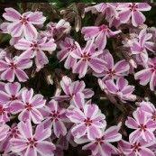 Phlox subulata Candy Stribes / Lyngfloks
