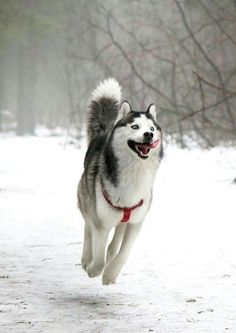 Huskies when winter arrives.