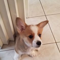 My ears are finally up!... Pembroke Welsh Corgi, Ears, Animals, Animales, Animaux, Animal, Animais