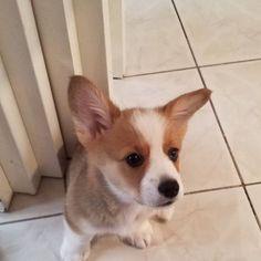 My ears are finally up!... Pembroke Welsh Corgi, Ears, Animals, Animales, Animaux, Ear, Animais, Animal