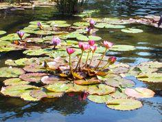 Lotus Flowers, Nature, Painting, Art, Product Display, Islands, Art Background, Naturaleza, Lotus Blossoms