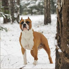 American Staffordshire Terrier GOLD MASK