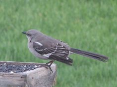 This is a mockingbird. I've never had one before!!
