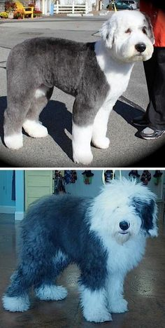-Repinned-Old English Sheepdog pet trim. - http://amzn.to/2h50xSk