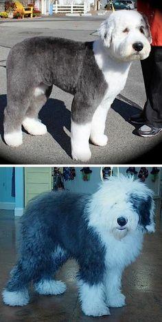 -Repinned-Old English Sheepdog pet trim. - http://amzn.to/2h50xSk