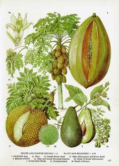 Avocado, Breadfruit and Pawpaw, a botanical  illustration of fruit from a volume of edible plants and herbs, early 1970s. Lithograph