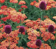 Allium sphaerocephalon and Achillea 'Paprika'... great looking combination and deer resistant in the garden!