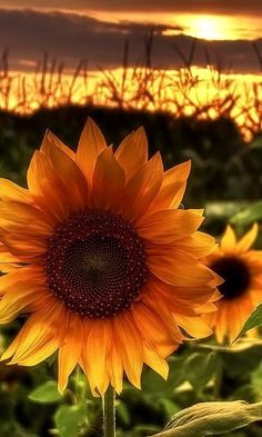 Beautiful sunset and sunflowers