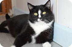 House Springs, MO - Domestic Shorthair. Meet Bond, a cat for adoption. http://www.adoptapet.com/pet/14912065-house-springs-missouri-cat