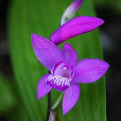 Purple flowering Bletilla striata - link to good info on planting & problems at nursuriesonline.com