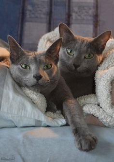 Russian Blue Cats My photography of our 2 cats. Blue Cats, Grey Cats, Beautiful Cat Breeds, Beautiful Cats, I Love Cats, Cool Cats, Russian Blue Kitten, Animals And Pets, Cute Animals