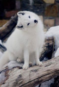 What do arctic foxes eat? The Arctic fox, sometimes known as the snow fox, polar fox or white fox, are both hunters and opportunistic feeders. Nature Animals, Animals And Pets, Wild Animals, Strange Animals, Cute Baby Animals, Funny Animals, Fuchs Baby, White Fox, Wild Dogs