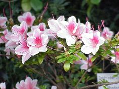 azalea and lots more for those who want to grow plants in their balconies like me