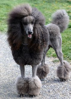 Which of these was the Standard Poodle also bred for?