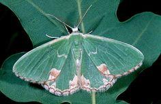 Blotched emerald moth
