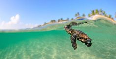 Loggerhead Sea Turtle in Florida. (via Sea Turtle Picture — Animal Wallpaper — National Geographic Photo of the Day) Baby Animals, Cute Animals, Wild Animals, Loggerhead Turtle, Wallpaper Fofos, Wildlife Biologist, Baby Sea Turtles, Turtle Baby, Ocean Turtle