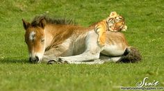 foal and tiger cub