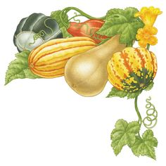 Learn how to plant, grow, harvest and store a range of winter squash, including butternut, acorn and spaghetti squash.