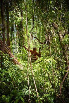 Orangutan, Indonesia | Michael Malherbe