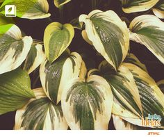 A Hosta, uma folhagem de origem asiática, além de linda, faz florescer flores em forma de trompete no verão.