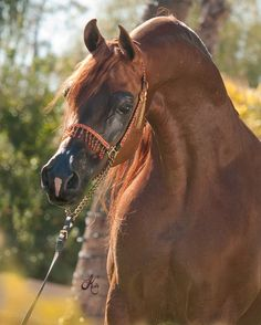 Horses Arabian horse - Pistal    photo by Kelly Campbell