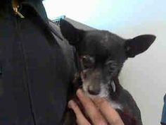 SAFE --- H E L P  --- SENIOR ALERT BALDWIN PK POUND CALI   y name is Maggie Mae and I'm an approximately 6 year old female chihuahua sh. I am not yet spayed. I have been at the Baldwin Animal Care Center since February 2, 2014. I am available on February 6, 2014. You can visit me at my temporary home at B304.  626-962-3577 626-430-2378 http://animalcare.lacounty.gov/ https://www.facebook.com/photo.php?fbid=683565275029453&set=a.493172170735432.126016.100001279618851&type=3&theater