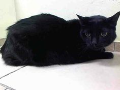 SAFE! TO BE DESTROYED 4/25/14 ** Nissan is a very good looking guy who can be cautious at first, but really warms up after you spend some time with him ** Brooklyn Center  My name is NISSAN. My Animal ID # is A0996445. I am a neutered male black domestic sh mix. The shelter thinks I am about 6 YEARS old.  I came in the shelter as a OWNER SUR on 04/12/2014 from NY 11214, owner surrender reason stated was COST